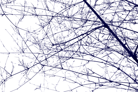 many branches: The old bamboo with many branches - silhouette