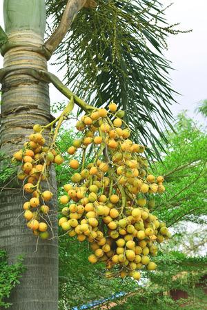 areca: Areca nut or Areca catechu on the tree