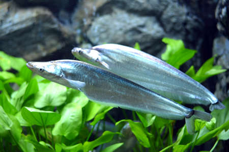 sheatfish: Two Phalacronotus apogon sheatfish with grass background