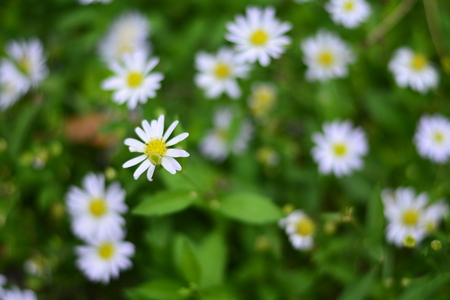 The small white flowers in the green garden