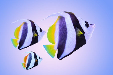 Family of sea fish or Family of salt water fish or Family butterfly fish or Family of copperband butterfly fish or Family of chelmon rostratus on blue bright color background