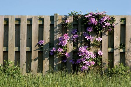 Purple Clamatis on wooden fence Stock Photo