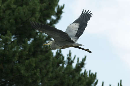 Blue heron flying towards trees