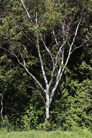 Birch tree on edge of forest Stock Photo - 573266