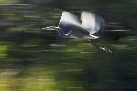 panning shot: Panning colpo di blu airone in volo prese con una bassa velocit�. Blurr effetto � intenzionale.