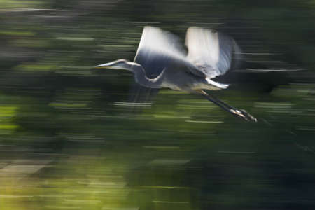 blurr: Panning shot of blue heron in flight taken with a slow shutter speed. Blurr effect is intentional. Stock Photo