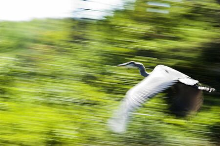 Panning shot of Blue Heron in flight taken with slow shutter speed. Blurr effect is intentional. Stock Photo