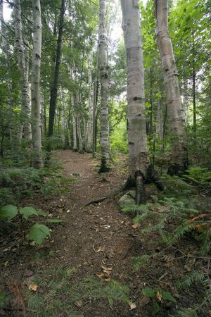 Path in forest - vertical