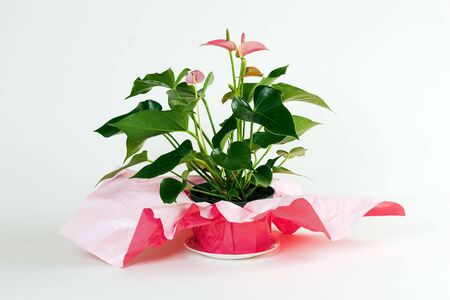 Blooming anthurium with red and white striped wrapping around the pot shot against white background. Stock Photo