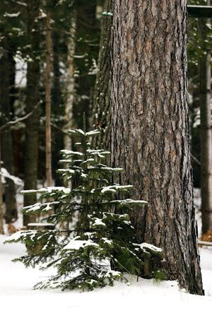 Evergreen sprout beside a tall, mature pine in the winter with snow cover.