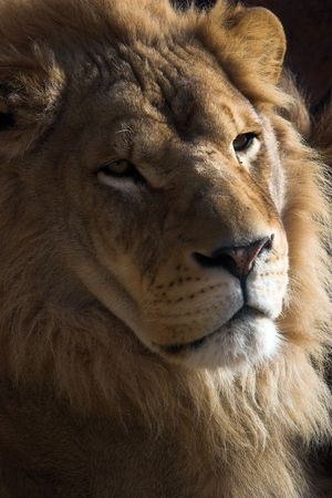 Close up of a young male lions face