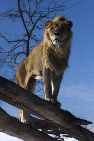 Lion standing on fallen tree trunk overlooking his kingdom