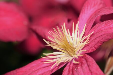 Close up of yellow stems of a red clematis photo