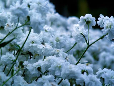 ours: Fine white flowers in ours to a garden