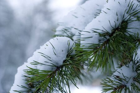 ramification: Winter pine branch in snow