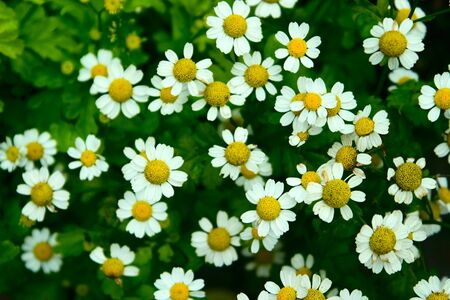 camomile tea: Pattern from a lot of white camomiles as a background