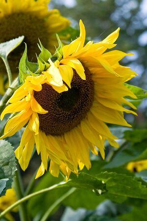 A bright yellow sunflower.   photo
