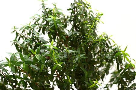 true myrtle: Myrtle foliage plants close-up isolation on a white background