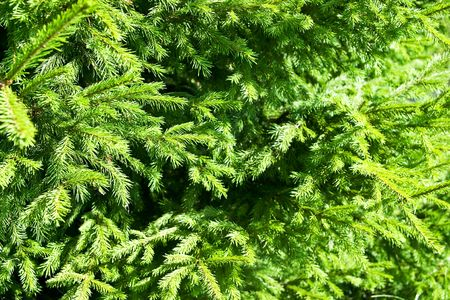 Closeup of evergreen spruce branches Stock Photo - 5278499