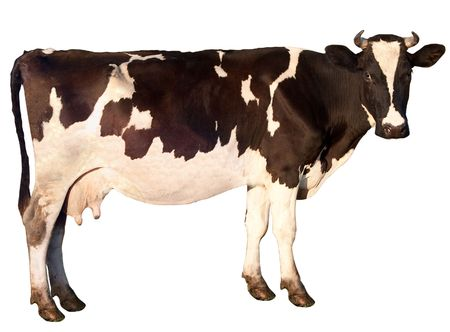 Cow is isolated on a white background Banco de Imagens