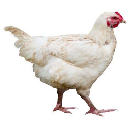 Hen isolated on a white background