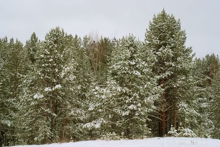 Winter landscape: pine forest after a snowfall photo