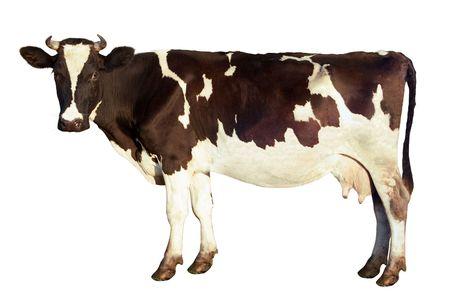 vaca: La vaca lechera, manchada de color, que estudia la c�mara, aislada en un fondo blanco. Vista lateral. Los detalles de la imagen conservada: down on las orejas y cola, tambi�n Bigotes  Foto de archivo