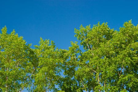 Young leaves of poplar against the morning sky. Taken with a polarizing filter, a week after the appearance of leaves. Removed the artifacts from the sky, minimal additional processing. Stock Photo - 7051997