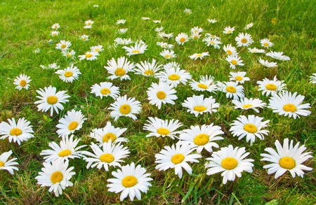 Daisies in a meadow. Concept of purity and nature photo