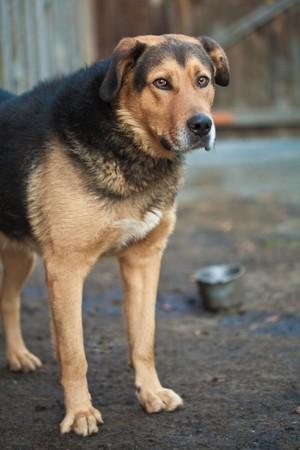 guard dog: Large guard dog