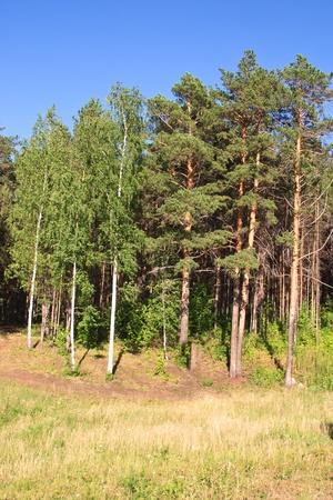 birchen: Summer landscape