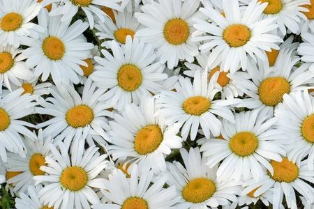 matricaria recutita: Margherite Archivio Fotografico