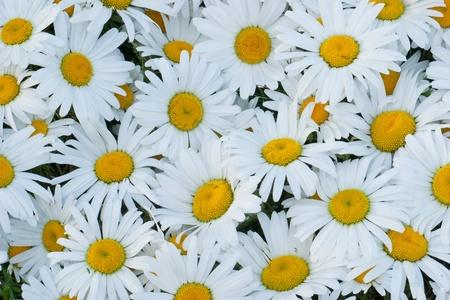 matricaria recutita: Margherite bianche Archivio Fotografico