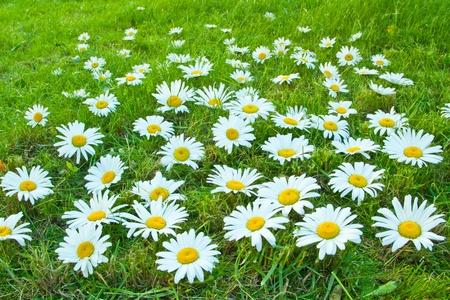 White daisies photo
