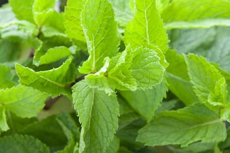 viands: Fresh mint leaves