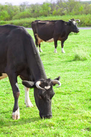 kine: Cows grazing