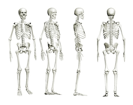 esqueleto humano: Esqueleto aislado
