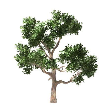 frondage: Tree isolated Stock Photo