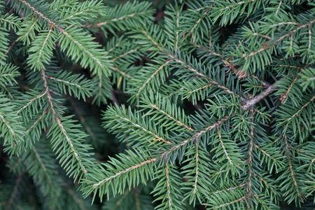 natural spruce branches needles closeup christmas greens stock photo 33467840 - Christmas Greens