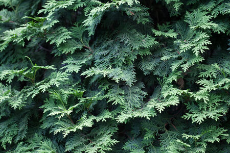 pinaceae: Natural spruce branches, needles closeup. Christmas greens Stock Photo