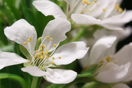 gean: The balmy breath of spring: a branch with lots of white flowers close-up