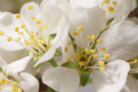 balmy: The balmy breath of spring: a branch with lots of white flowers close-up