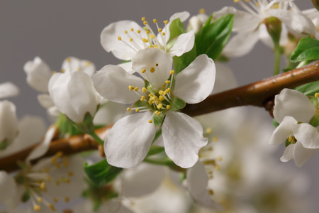 mayflower: Mayflower flower: a branch with lots of white flowers close-up Stock Photo