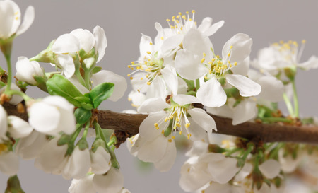 efflorescence: The balmy breath of spring: a branch with lots of white flowers close-up