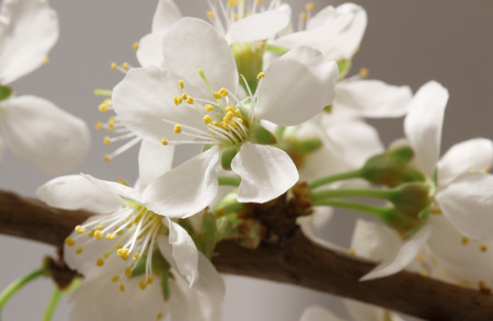 anthesis: The balmy breath of spring: a branch with lots of white flowers close-up