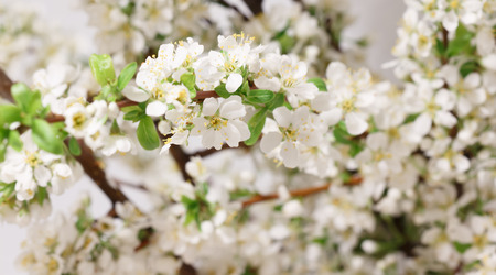 belladonna: The balmy breath of spring: a branch with lots of white flowers close-up