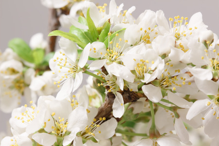 belladonna: Mayflower flower: a branch with lots of white flowers close-up Stock Photo