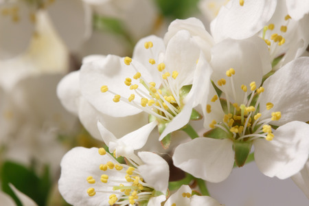 angiosperms: A branch with lots of white flowers close-up