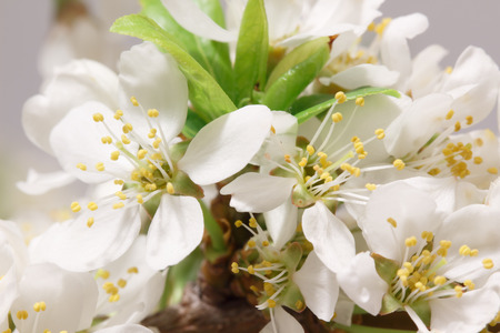 gean: Mayflower flower: a branch with lots of white flowers close-up Stock Photo