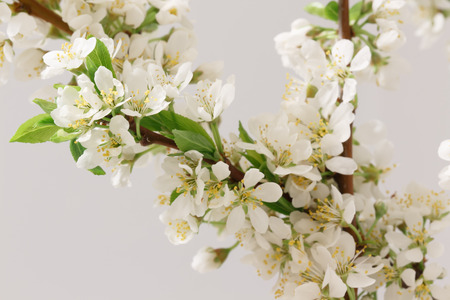 gean: A branch with lots of white flowers close-up